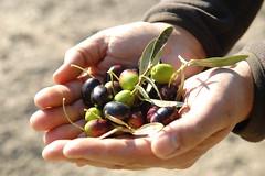 Manos sujetando unas olivas