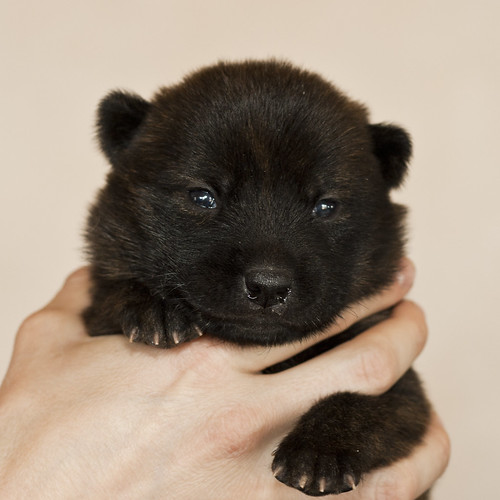 Haru-Third-Litter-Pup6-Female-Day15a