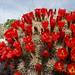 Echinocereus triglochidiatus mojavensis - Photo (c) Tony Frates, some rights reserved (CC BY-NC-SA)