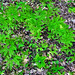 Small photo of Maidenhair Ferns (Adiantum pedatum)