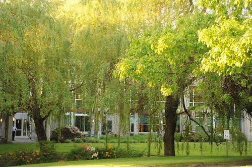Weeping willow trees, flowers, corporate garden, last sun, Beaverton, Oregon, USA by Wonderlane