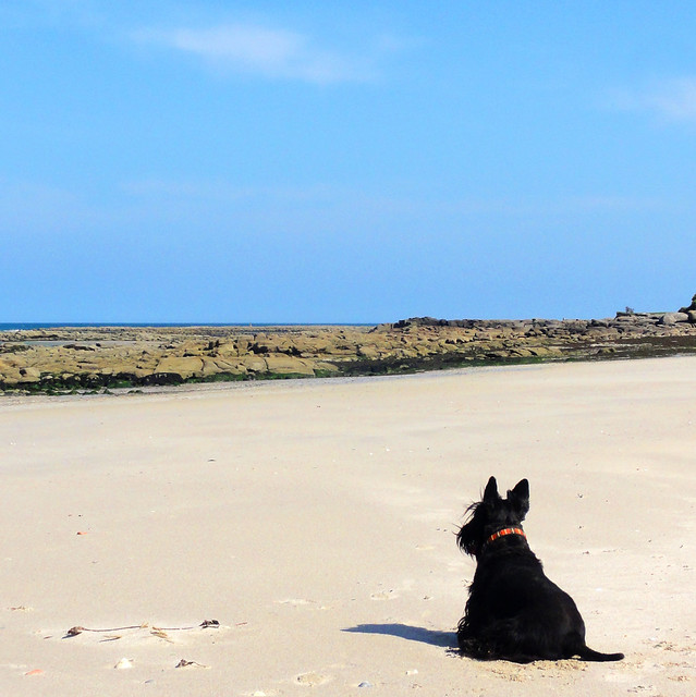 Scottish Terrier at the beach