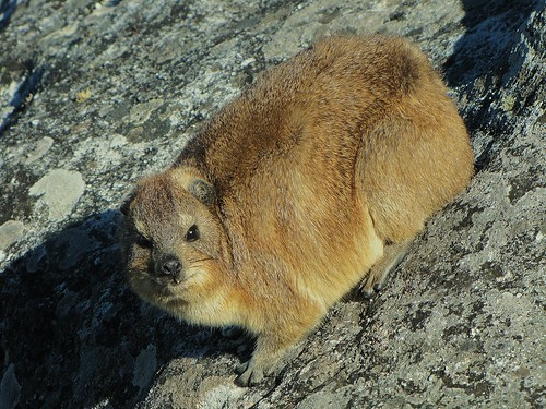 Rock Hyrax by CharlesRay2010