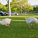 Small photo of Geese on the grass by Almaden Lake
