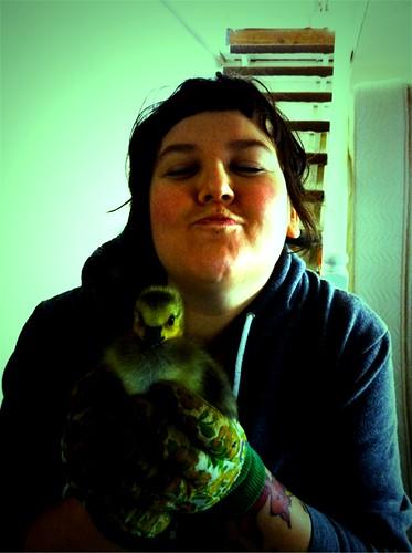 baby canada goose