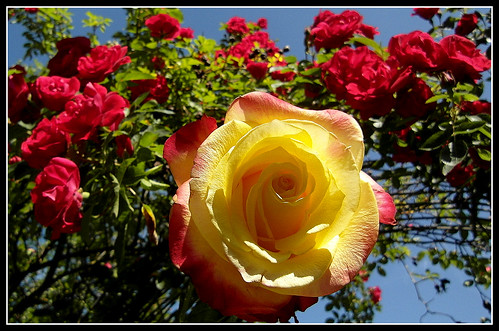 The beauty of roses....Guatemala rose.....a rosy week for my dear friends!.