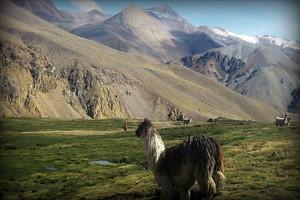 alpaca-suri-fauna-cayon-cotahuasi-arequipa