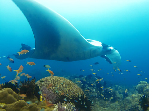 My First Encounter with Manta Rays