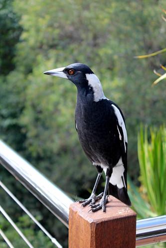Magpie-ish bird