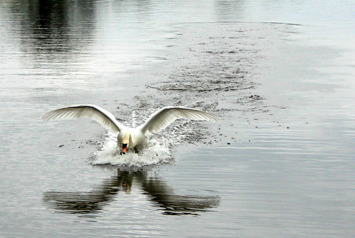 Croome Court - flying swan