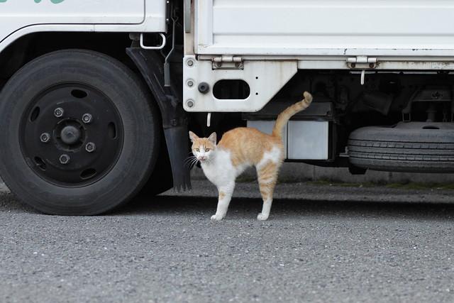 びっくり顔の茶白猫 1