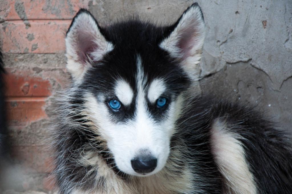 Bán chó Husky mắt xanh 6tr tuyệt đẹp