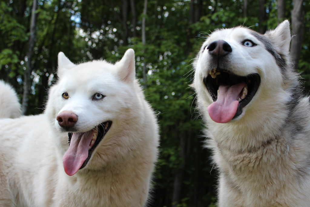 Two happy Huskies looking forward to embarking on their new year's resolutions!