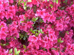 Bright Azaleas (Posterized Photograph) by randubnick