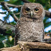 screech-owls-june2012-9