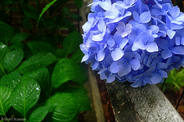 On the fence hydrangea