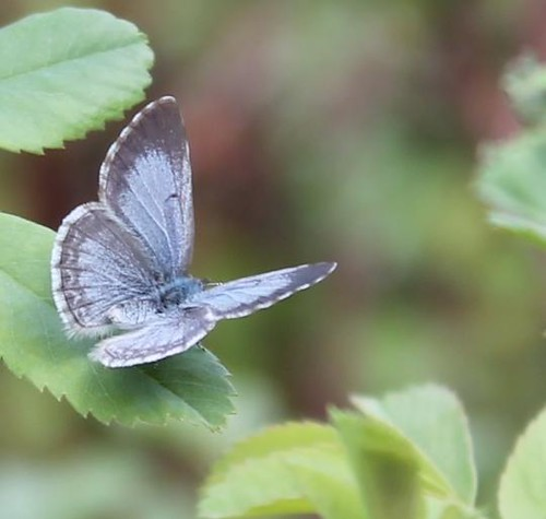 Spring Azure (Strymon melinus) butterfly on rose