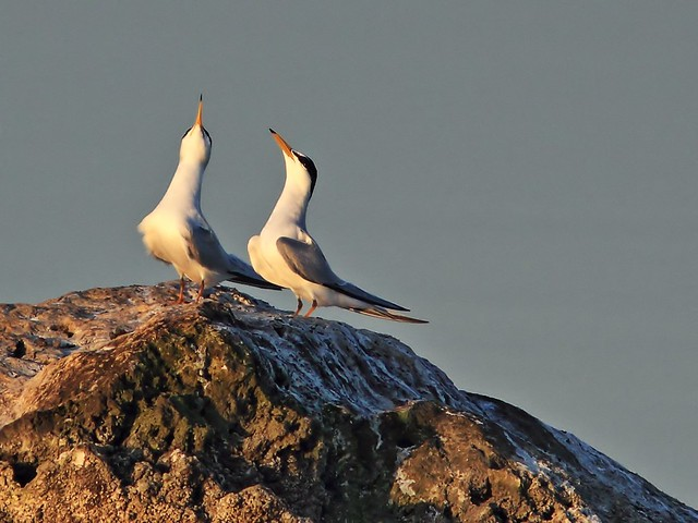 Least Terns display 20140406