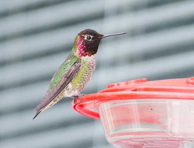 hummingbird-20140427-17