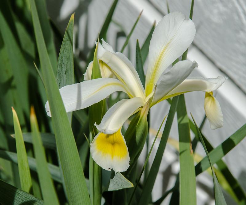 West Side Iris 1