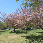 Cherry Blossoms, Branch Brook Park, 2016 - 8