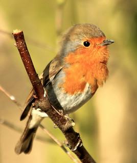 Robin 6173