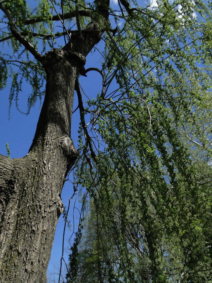 6-77-21apr12_3702_Botanical_garden weeping willow