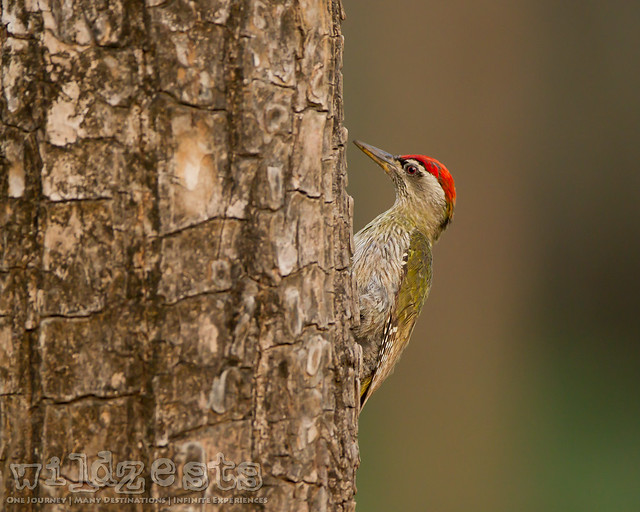 Streak Throated Woodpecker