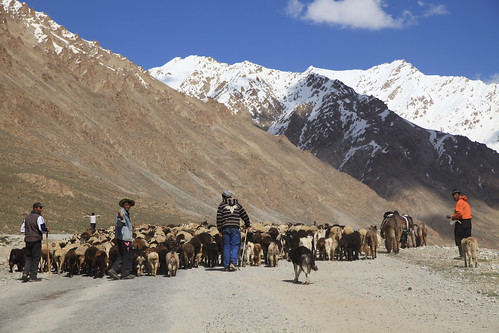 Shepherding Sheep and Goats to High Pastures Pamir Highway Remote Mountainscape and High Desert Tajikistan