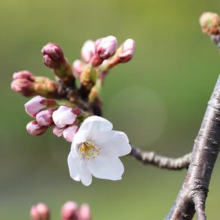 桜咲き始めた。