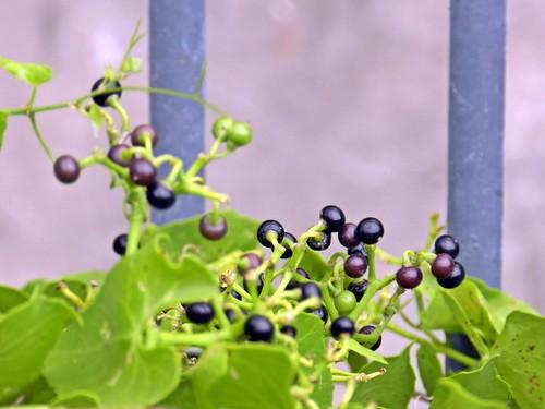 frutitos de falsa parra