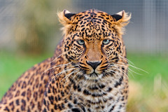 [Free Images] Animals 1, Leopards ID:201204081600