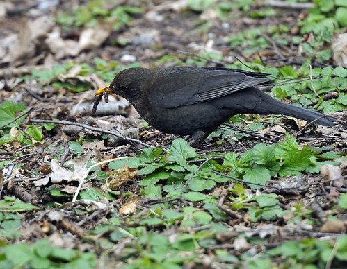 Blackbird with worm by Andy Pritchard - Barrowford