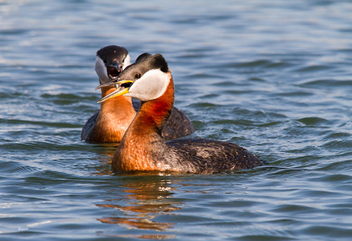 Red Necked Grebes Bronte Harbour Bronte Oakville Ontario Canada by gashphoto