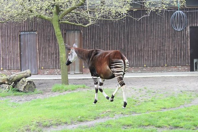 okapi running around in enclosure