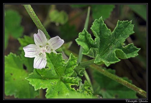 Mauve à petites feuilles (Malva pusilla)