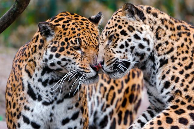 Snuggling jaguars