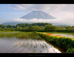 Rice fields and Yotei