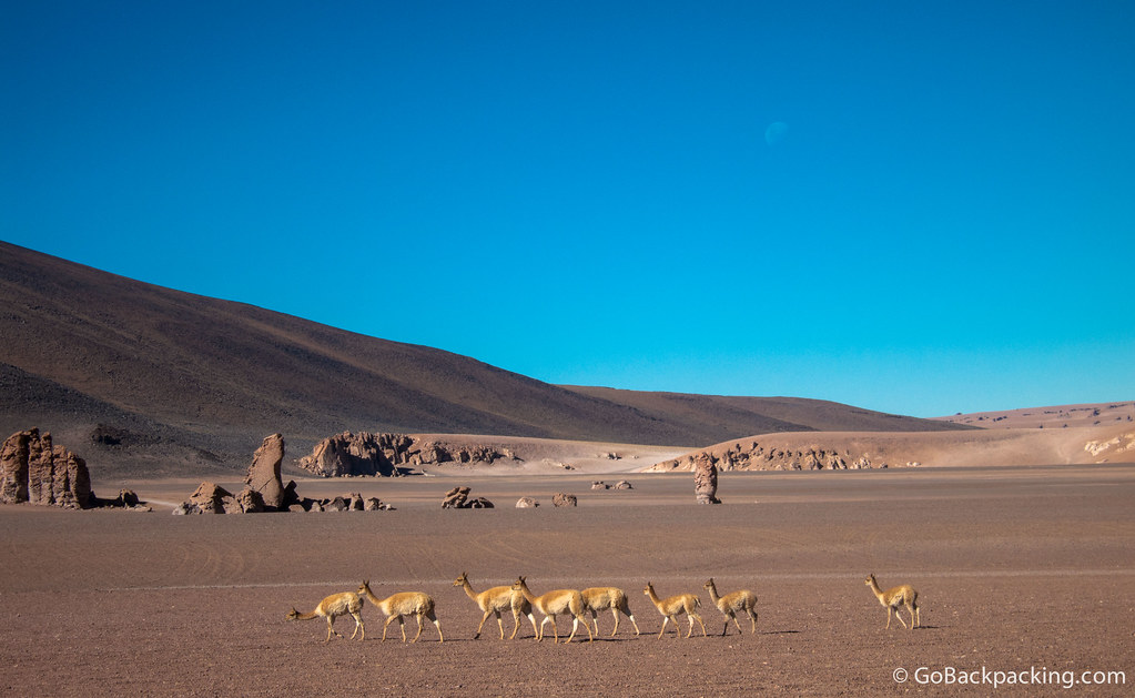 A herd of vicuñas graze on the little grass there is to be found in the desert.