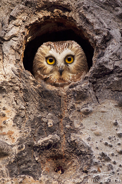 Northern Saw-whet Owl | Flickr - Photo Sharing!