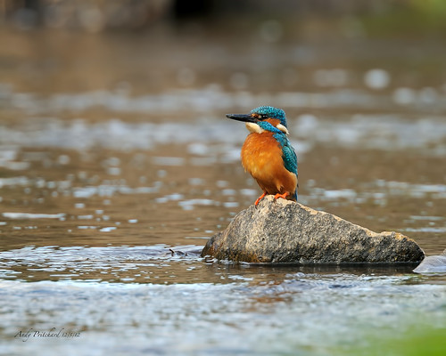 Kingfisher by Andy Pritchard - Barrowford