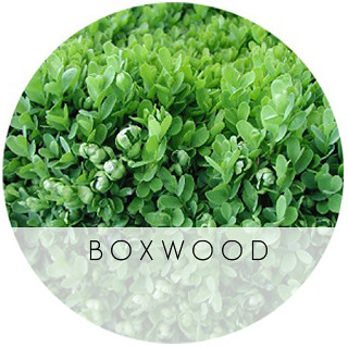 boxwood psylla damage 1