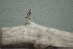 Kildeer in flight
