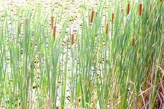 prairie, agriculture, field, plant, chrysopogon zizanioides, crop, meadow, plant stem, grassland,