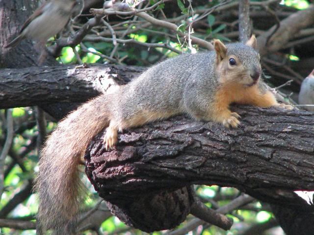 Grey fox squirrel - photo#2