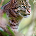 Fishing cat in the vegetation