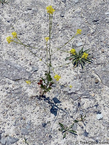 Flower growing on limestone bedrock