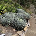 Small photo of Agave parryi var