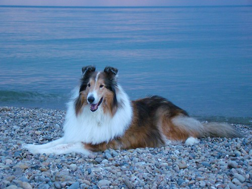 Our Rough Collie Zack