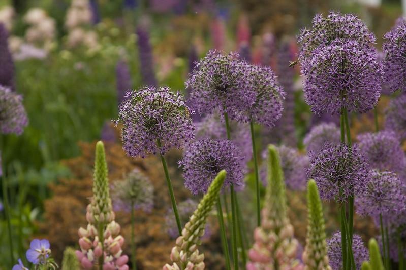 Allium bokeh